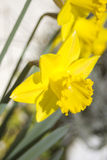 Narcissus flower Royalty Free Stock Image