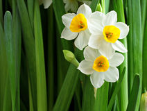 Narcissus flowers. For chinese new year Stock Image