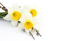 Narcissus flowers royalty free stock photography