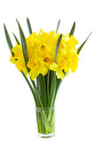 Narcissus Flowers. Narcissus daffodil Flowers isolated on white background royalty free stock photo