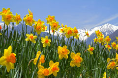 Narcissus flowers. Closeup of narcissus flowers with mountains in background Royalty Free Stock Photos