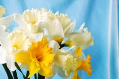 Narcissus flowers bouquet against blue background. Narcissus flowers against blue background. Spring time Stock Images