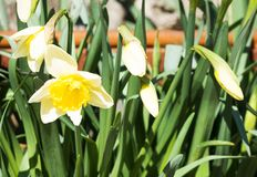 Narcissus flowers and buds background. Narcissus flowers and buds growing in garden. Natural background of flowerbed royalty free stock photography