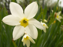 Narcissus Flowers Royalty Free Stock Photos
