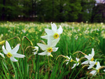 Narcissus flowers Stock Photos