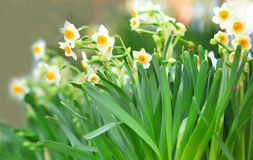 Narcissus flowers Stock Photography