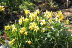 Narcissus Flowers en primavera en un jardín Fotos de archivo libres de regalías