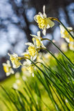 Narcissus flowers field Royalty Free Stock Images