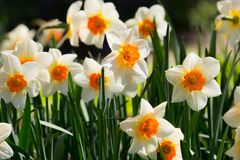 Narcissus flowers field. Narcissus daffodil flowers with green g royalty free stock images