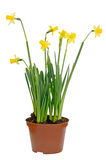 Narcissus flowers in a flowerpot Stock Images