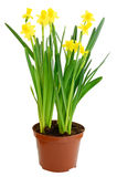 Narcissus flowers in a flowerpot. Isolated on white background royalty free stock photo