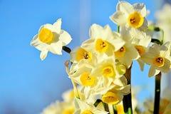 Narcissus Flowers of gele narcissen die alleen groeien Royalty-vrije Stock Foto