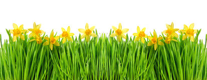 Narcissus flowers in green grass with water drops Stock Image