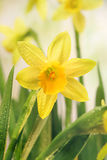 Narcissus flowers and green leaves Stock Photos