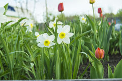 Narcissus flowers. Growing flowers daffodil color white stock image