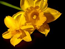 Narcissus Flowers, häufiger angerufen Daffodil stockfoto