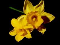 Narcissus Flowers, häufiger angerufen Daffodil lizenzfreie stockfotos