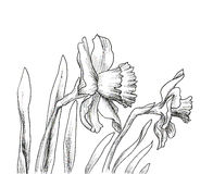 Narcissus flowers hand drawn style Royalty Free Stock Photos