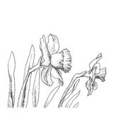 Narcissus flowers hand drawn style Royalty Free Stock Images