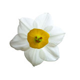 Narcissus flowers. Narcissus has a pleasant aroma and is very popular during Lunar New Year during as a symbol of good luck in the coming year Royalty Free Stock Image
