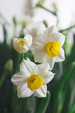 Narcissus flowers. Narcissus has a pleasant aroma and is very popular during Lunar New Year during as a symbol of good luck in the coming year Stock Image