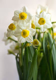 Narcissus flowers. Narcissus has a pleasant aroma and is very popular during Lunar New Year during as a symbol of good luck in the coming year Stock Photo