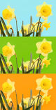 Narcissus flowers isolated on colored background Stock Images