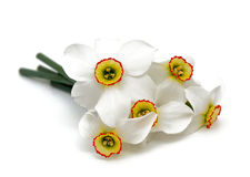 Narcissus flowers isolated on white background Royalty Free Stock Images