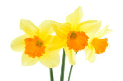 Narcissus flowers isolated on a white background Royalty Free Stock Images