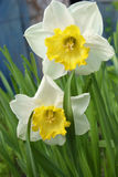 Narcissus flowers Royalty Free Stock Image