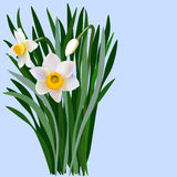 Narcissus flowers with leaves and bud Royalty Free Stock Images