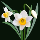 Narcissus flowers with leaves and bud Stock Photography