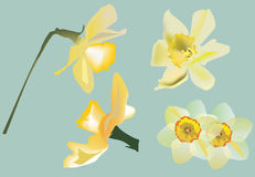 Narcissus flowers on light background Royalty Free Stock Photo