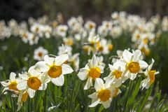 Narcissus flowers royalty free stock photo
