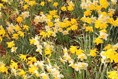 Narcissus flowers (Narcissus Pseudonarcissus) Stock Photo