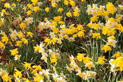Narcissus flowers (Narcissus Pseudonarcissus). Yellow and white Narcissus flowers (also known as Wild Daffodil or Lent Lily) in Innsbruck, Austria. Its Stock Photos
