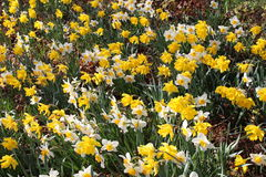 Narcissus flowers (Narcissus Pseudonarcissus). Yellow and white Narcissus flowers (also known as Wild Daffodil or Lent Lily) in Innsbruck, Austria. Its Royalty Free Stock Photo