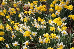 Narcissus flowers (Narcissus Pseudonarcissus). Yellow and white Narcissus flowers (also known as Wild Daffodil or Lent Lily) in Innsbruck, Austria. Its Royalty Free Stock Photos