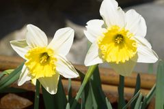 Narcissus flowers heads natural background. Growing narcissus or daffodil flowers heads natural background stock images