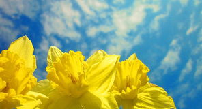 Narcissus flowers. Photography of narcissus flowers and blue sky Stock Photos