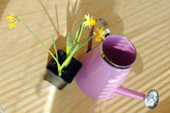 Narcissus. Flowers, pot and watering on the table Stock Photography
