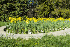Narcissus flowers  in a spring garden Royalty Free Stock Photo