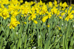 Narcissus flowers  in a spring garden Royalty Free Stock Images