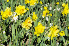 Narcissus flowers  in a spring garden Royalty Free Stock Photography