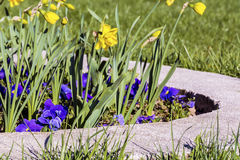 Narcissus flowers  in a spring garden Stock Photography