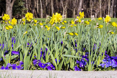 Narcissus flowers  in a spring garden Royalty Free Stock Image