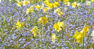 Narcissus Flowers In Springtime stock footage