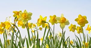 Narcissus Flowers In Springtime stock videobeelden