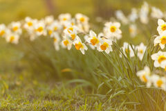 Narcissus flowers royalty free stock images