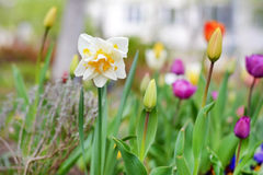 Narcissus flowers and tulips in spring garden Stock Images